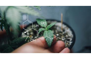 Cannabinoïde : qu'est ce que c'est et quels sont leurs effets thérapeutiques ?